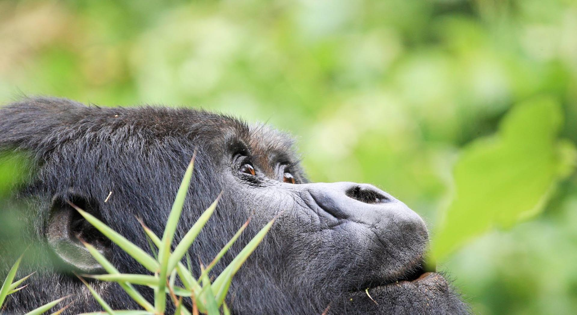 Mark Timko, Ponder Mountain Gorilla, Rwanda, photo on metal